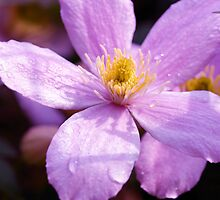 Clematis by Simon Pattinson