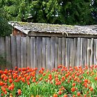 Shed Amidst Coral Tulips by Lesliebc