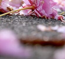cherry blossoms on the sidewalk by tego53