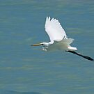 Intermediate Egret in Flight, Broome, Western Australia by Adrian Paul