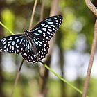 Blue Flutterbye by tracyleephoto