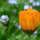 Orange flower by Adam1965
