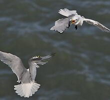 kittiwake mid air conflict by Grandalf
