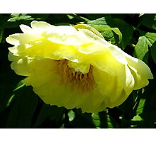 Yellow Tree Peony Photographic Print