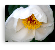 Tender New White Peony Canvas Print