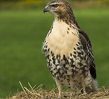 Red Tail Hawk by Wayne Wood