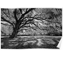 Moss-Draped Oaks in Black and White Poster