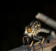 The Robber Fly by TMphotography
