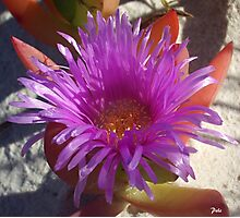 Ice Plant Flower Photographic Print