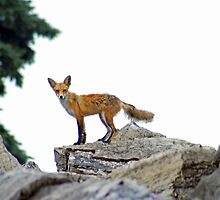 Fox On The Rocks by kkphoto1