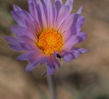Mojave Aster by Chris Morrison