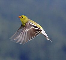 Female Gold Finch in Flight by Chuck Gardner