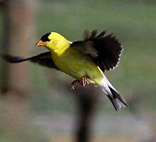 Male Gold Finch in Flight by Chuck Gardner