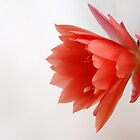 flower cactus red by seccotine
