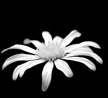 White flower b&w 0638 by João Castro