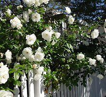 Iceberg roses by joycee