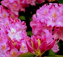 Rhododendron Bush by ctheworld