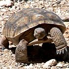 Mojave Max, The desert tortoise (Gopherus agassizii)  by RichardKlos