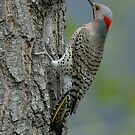 Northern Flicker by okcandids