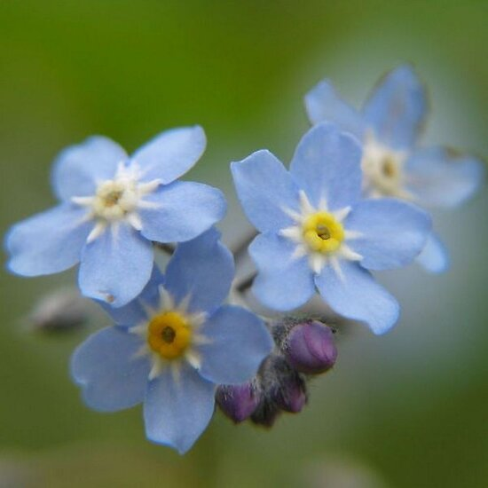 Close-up Forget Me Not - Blue Myosotis by taiche