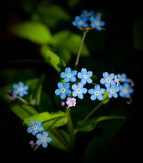 Forget Me Nots...please by Charles Plant