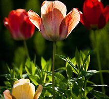 Tulips at Day's End by Charles Plant