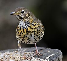song thrush (Turdus philomelos) by Grandalf