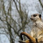 Meerkat, Just Chilling... by TheStaggeringGenius