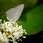 Gray Hairstreak by Colleen Drew