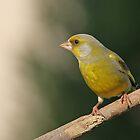 Green Finch on Alert by Janika