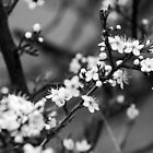 Blackthorn Blossom one by Margaret Brown