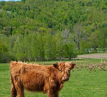 Curious Cow II by Mandy Wiltse