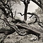 Scrub Tree - Hetch Hetchy Resevoir by keelanj