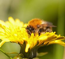 Bombus pascuorum, Common carder bumble bee by Jon Lees