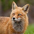 Wet Fox by Jay Ryser