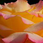 Blushing Pink Rose by MoonLiteStudio