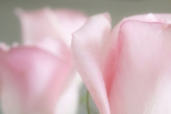Baby Pink Rose Petals by AuntDot