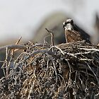 Osprey at Home by Ken McElroy