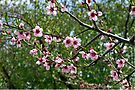 Peach Tree Blossoms by Jan  Tribe