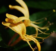 MACRO HONEYSUCKLES by Terra 'Sunshine' Gilbert