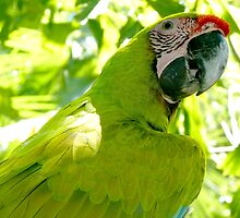 Great Green Macaw by myrbpix