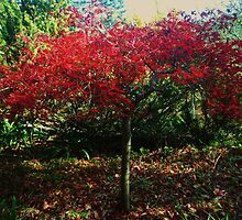 Japanese Maple by Debbie Thatcher