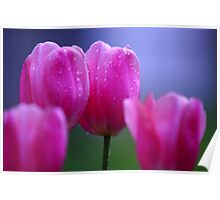 Misty Tulips Poster