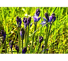 Bluebells Emerging  (late spring) Photographic Print