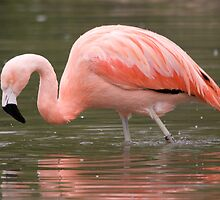 Chilean Flamingo wading by audhudson