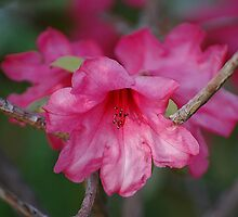 Pink Rhododendrons by Jonice