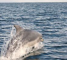 Bottle Nose Dolphin in Moray Firth by Paul Watkins