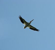 American White Pelican Too by swaby