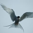 Arctic tern in Iceland by Marieseyes