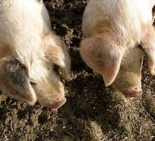 Two Little Piggies... by Jay Taylor